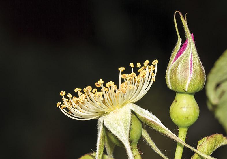 Rosa gallica officinalis -  - Blüten - Flowers