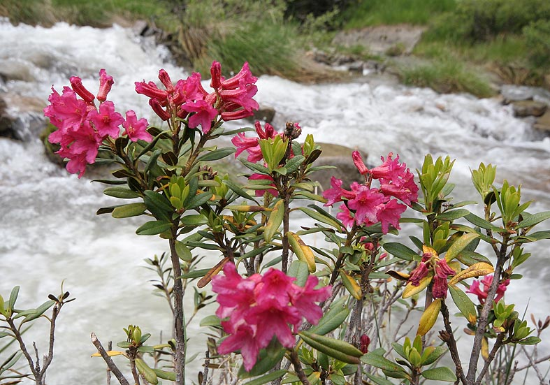Rhododendron ferrugineum - Rostblättrige Alpenrose - Fam. Ericaceae - Bergwald/Waldgrenze - mountain forest/timberline
