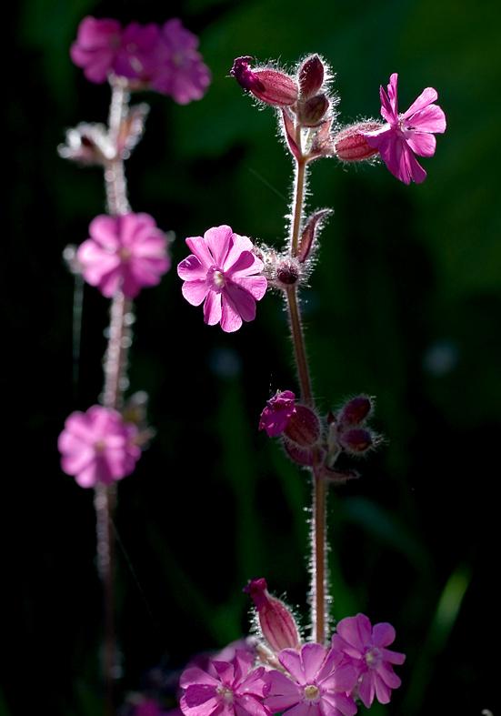 Silene dioica - Rote Lichtnelke - Fam. Caryophyllaceae - Hochstaudenfuren