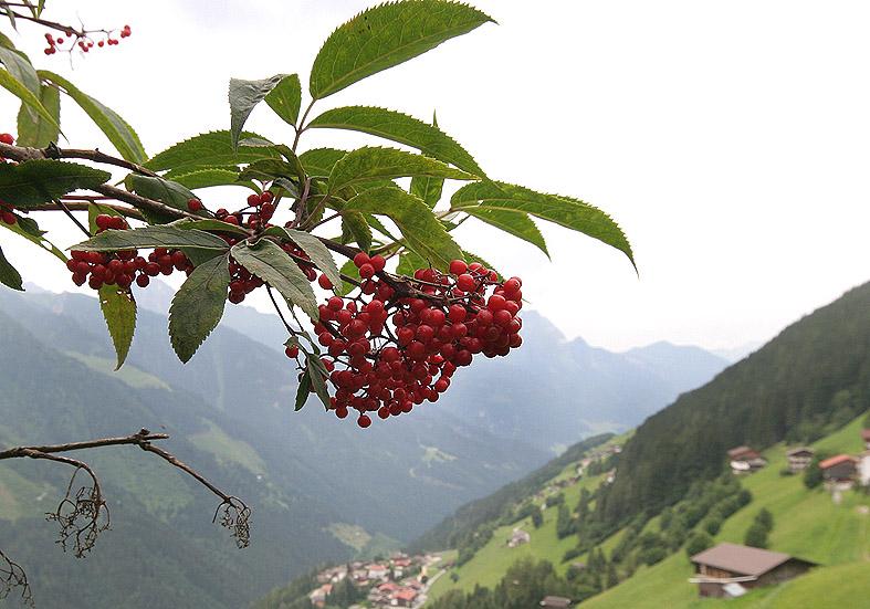 Sambucus racemosa - Roter Hollunder  - Fam. Caprifoliaceae - Wald - forest