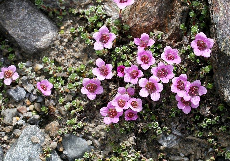 Saxifraga oppostifolia - Roter Steinbrech  - Saxifragaceae - Felsschutt - gravel