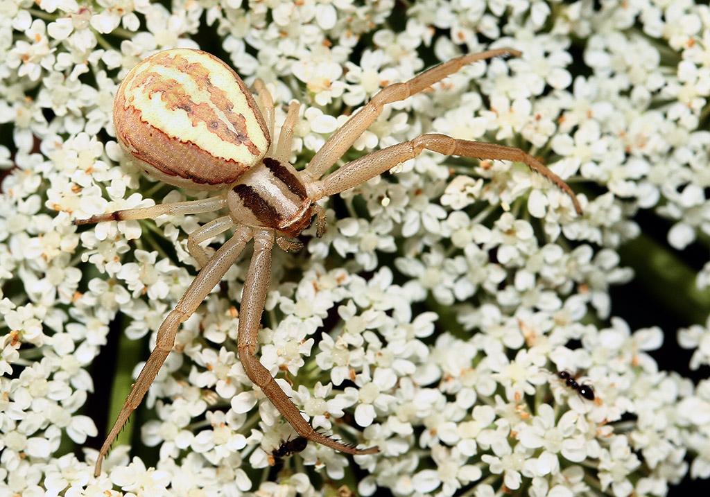 Fam. Thomisidae  - Runcinia grammica - Samos - Araneae - Webspinnen - orb-weaver spiders