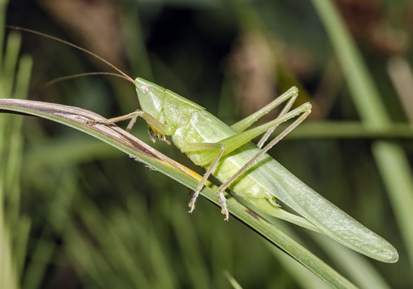 Ruspolia nitidula - Große Schiefkopfschrecke - Fam. Conocephalidae -  Schwertschrecken - Weitere Geradflügler - other orthopters