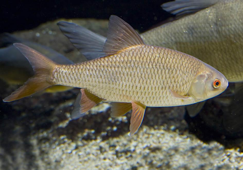 Rutilus rutilus - Rotauge - Alpenzoo - Cypriniformes - Karpfenartige