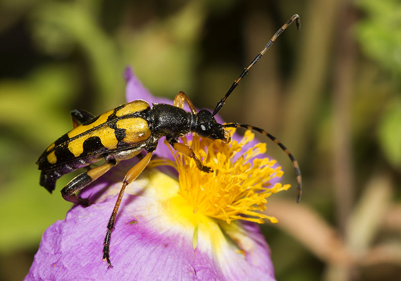 Rutpela maculata  - Gefleckter Schmalbock - UFam. Lepturinae   -  Pilion  (Griechenland) - Cerambycidae - Bockkäfer - long-horned beetles