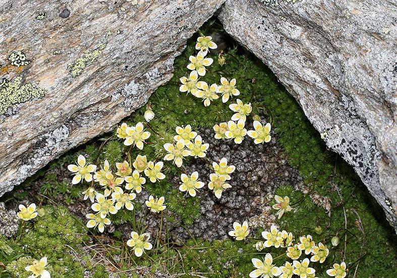 Saxifraga bryoides - Moos-Steinbrech - Fam. Saxifragaceae - Felsspalten - rock crevices