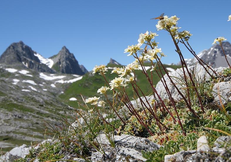 Saxifraga  paniculata - Trauben-Steinbrech - Fam. Saxifragaceae - Felsspalten - rock crevices