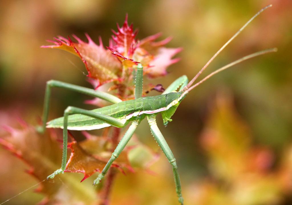 Saga cf.  hellenica juv. - Griechische Sägeschrecke - Andros - Ensifera - Tettigonidae - Laubheuschrecken - bush crickets