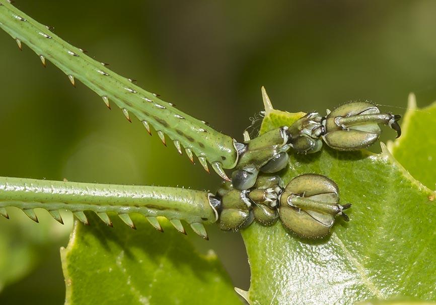 Saga helenica -  - Ensifera - Tettigonidae - Laubheuschrecken - bush crickets