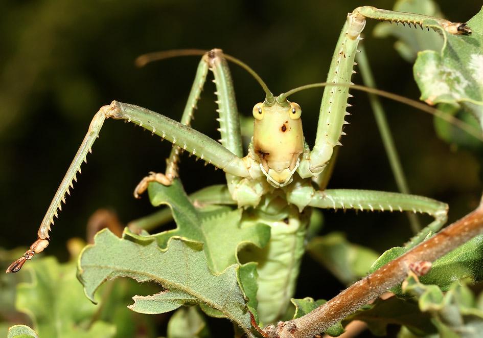 Saga hellenica - Griechische Sägeschrecke -  Korfu - Ensifera - Tettigonidae - Laubheuschrecken - bush crickets