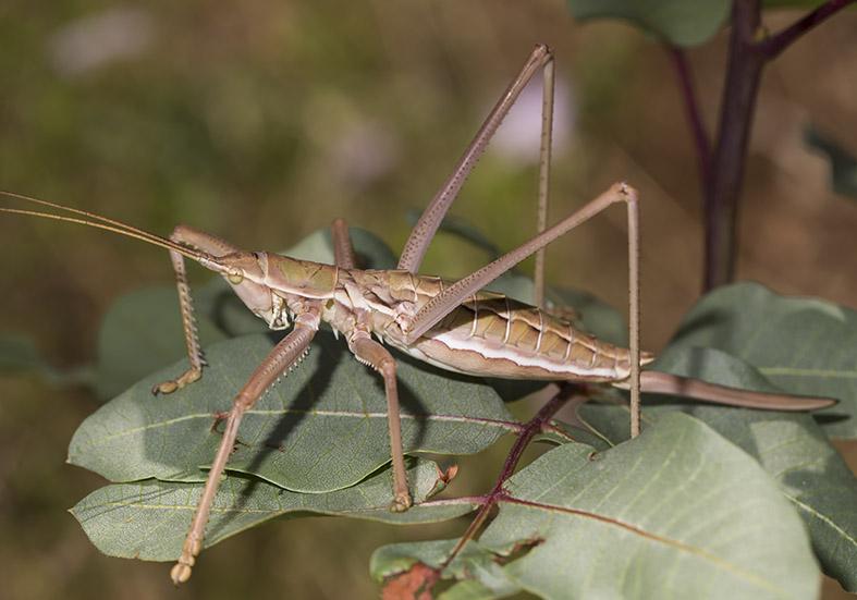 Saga hellenica - Griechische Sägeschrecke - Pilion (Griechenland) - Ensifera - Tettigonidae - Laubheuschrecken - bush crickets