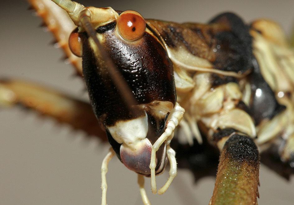 Saga natoliae - Balkan-Sägeschrecke - Samos - Ensifera - Tettigonidae - Laubheuschrecken - bush crickets