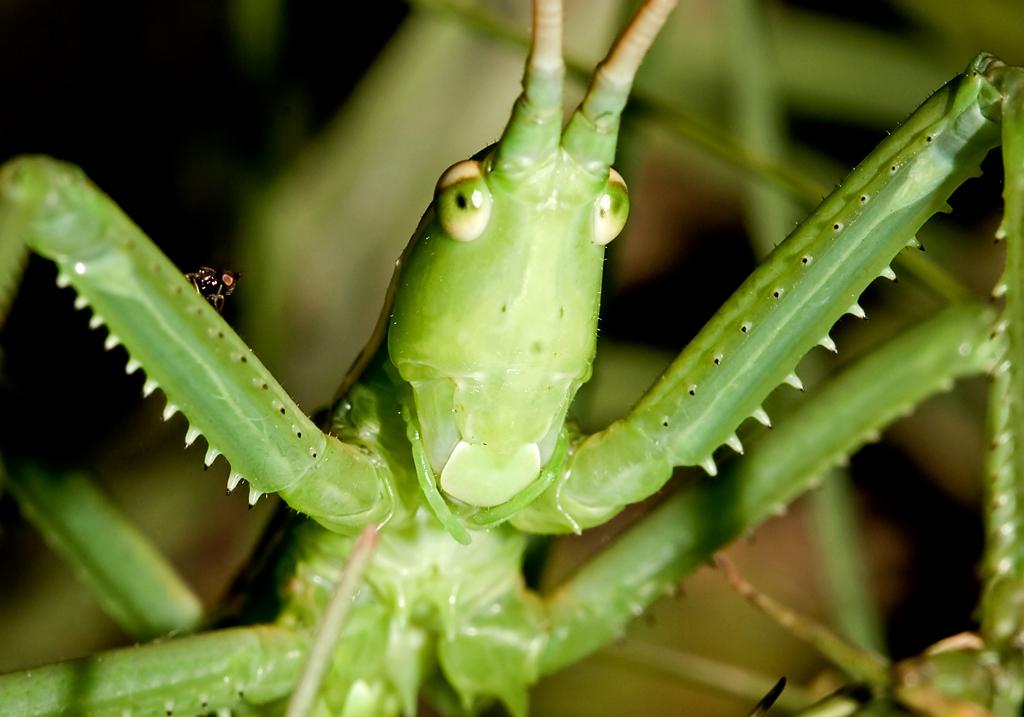 Saga pedo - Sägeschrecke - Fam. Tettigoniidae - Tettigoniidae - Laubheuschrecken - bush crickets