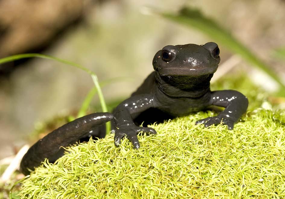 Salamandra atra - Alpensalamander -  - Salamandridae - Salamander, Molche - salamanders, newts