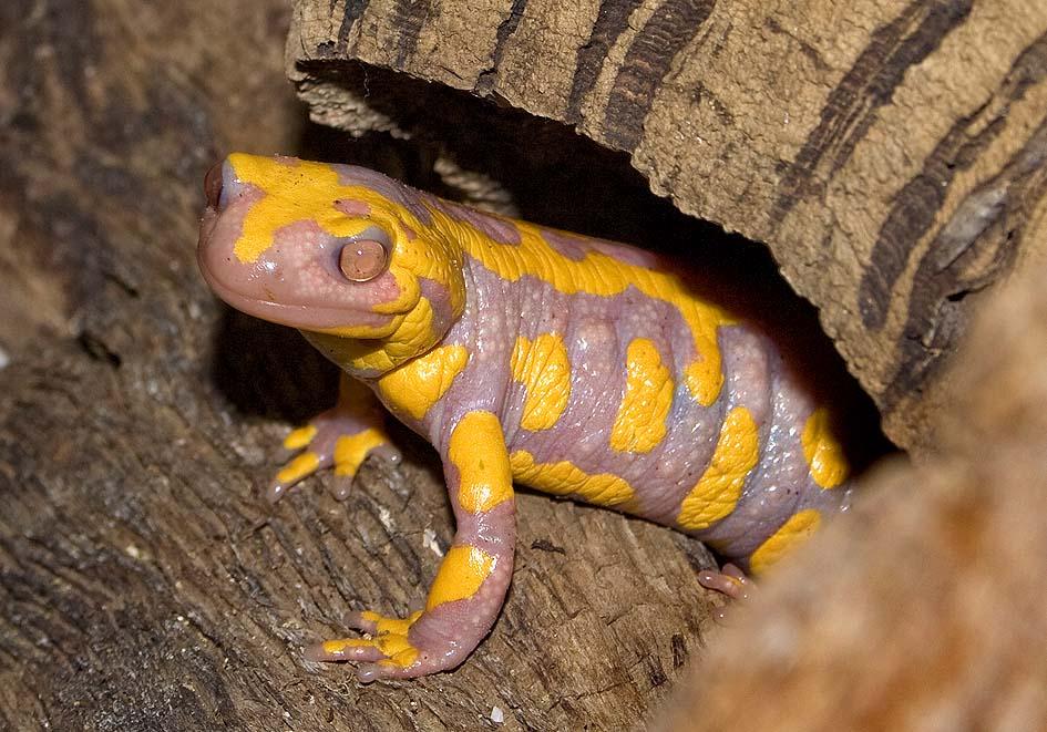 Salamandra salamandra - Feuersalamande (Albino) - Alpenzoo - Salamandridae - Salamander, Molche - salamanders, newts