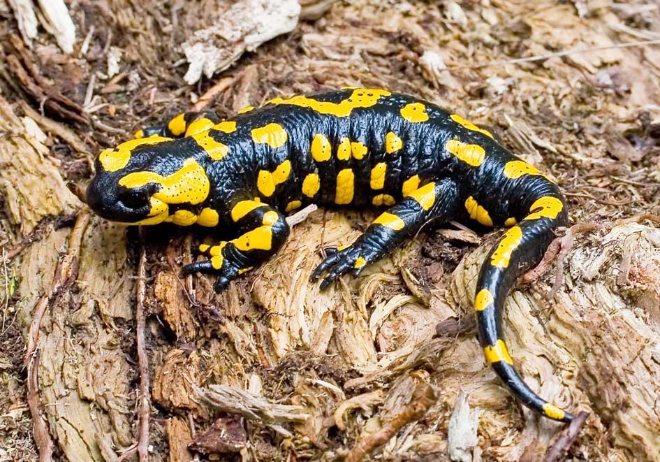 Salamandra salamandra - Feuersalamander -  - Salamandridae - Salamander, Molche - salamanders, newts