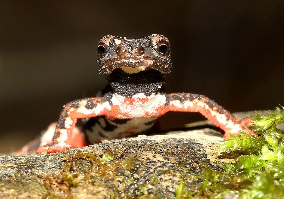 Salamandrina perspicillata -  Nördlicher Brillensalamander - Toscana - Salamandridae - Salamander - salamanders
