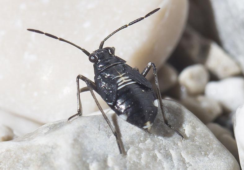 Saldidae Uferwanzen - juv. - Heteroptera - Wanzen - true bugs