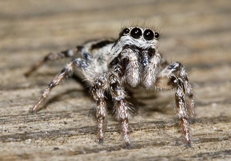 Salticus cingulatus - Fam.  Salticidae - Springspinnen - Araneae - Webspinnen - orb-weaver spiders