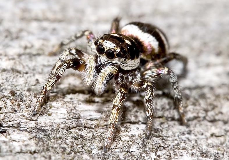 Salticus scenicus - Zebraspringspinne - Fam.  Salticidae - Springspinnen - Araneae - Webspinnen - orb-weaver spiders