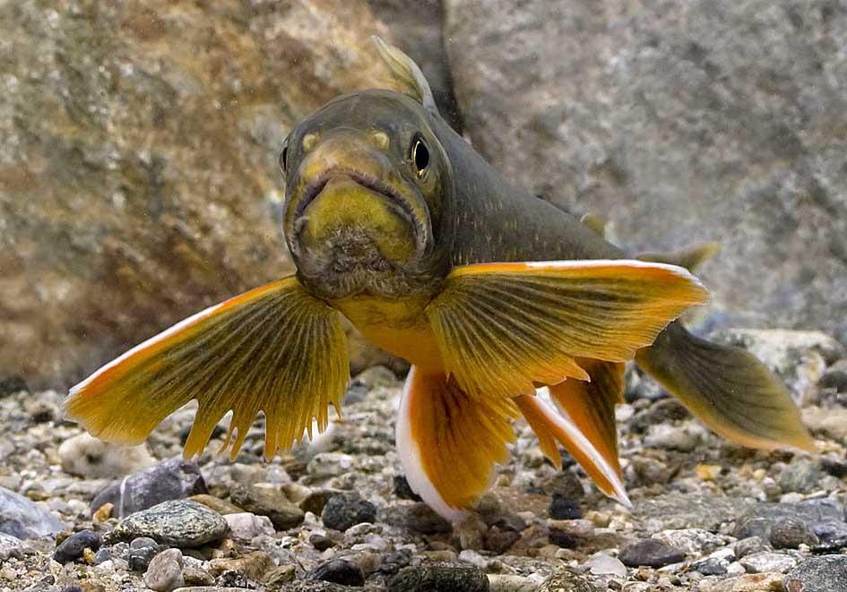 Salvelinus alpinus - Seesaibling - Kühtai - Salmoniformes - Forellenartige