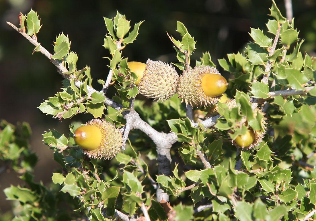Quercus coccifera - Kermeseiche - kermes oak -  - Wald - Forest