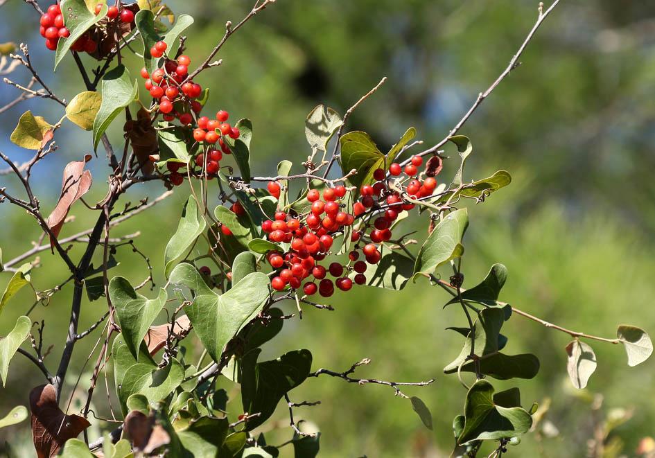 Smilax aspera - Stechwinde - common smilax -  - Macchie - Macchia
