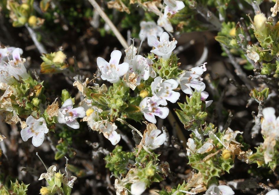 Satureja spinosa - Dornige Bergminze -  - Phrygana