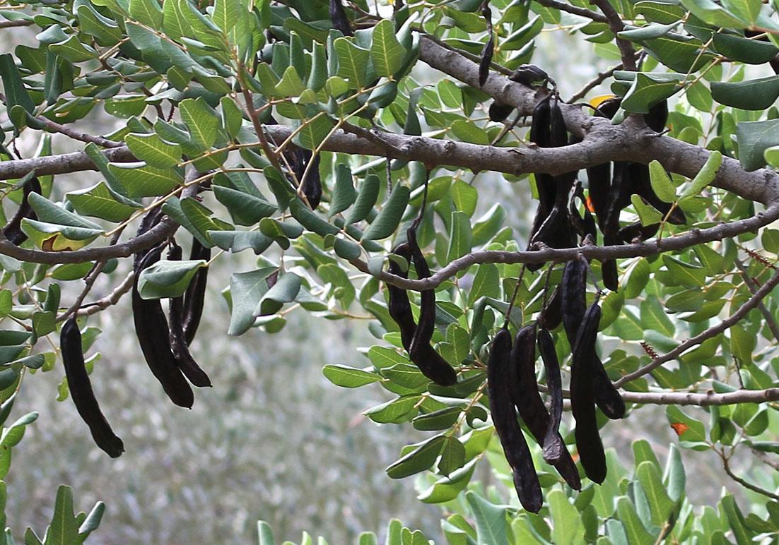 Ceratonia siliqua - Johannisbrotbaum - carob tree  -  - Macchie - Macchia