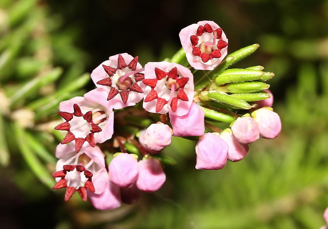 Erica manipuliflora - Quirlblättrige Heide - autumn heather -  - Macchie - Macchia