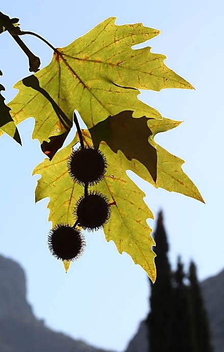 Morgenländische Plantane - Platanus orientalis -  - Samen - Seeds