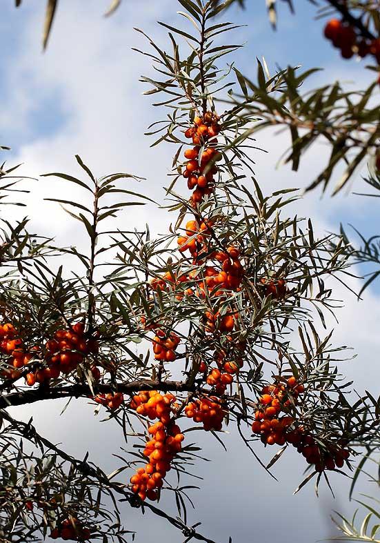 Hippophae rhamnoides - Sanddorn - Fam. Elaeagnaceae - Trockenrasen - dry grasslands