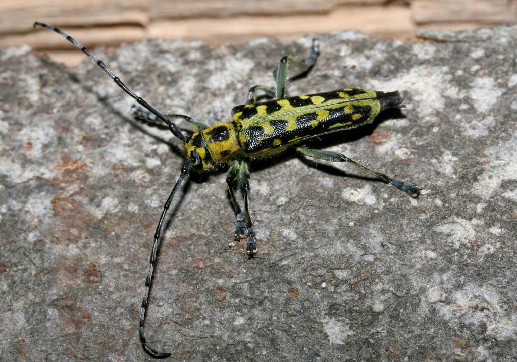 Saperda scalaris - Leiterbock - UFam. Lamiinae - Cerambycidae - Bockkäfer - long-horned beetles