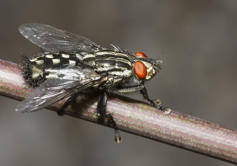 Sarcophaga cf carnaria - Graue Fleischfliege -  Fam. Sarcophagidae - Fleischfliegen - Brachycera (Fliegenartige) - Schizophora - muscoids