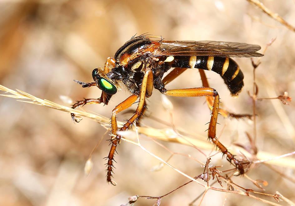 Saropogon sp. (Asilidae) - Ikaria - Diptera - Fliegen