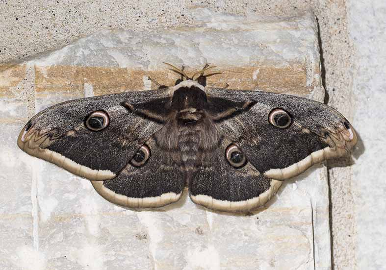 Saturnia pyri - Wiener Nachtpfauenauge - Fam. Sphingidae (Schwärmer)  -  Naxos - Nachtfalter - moths