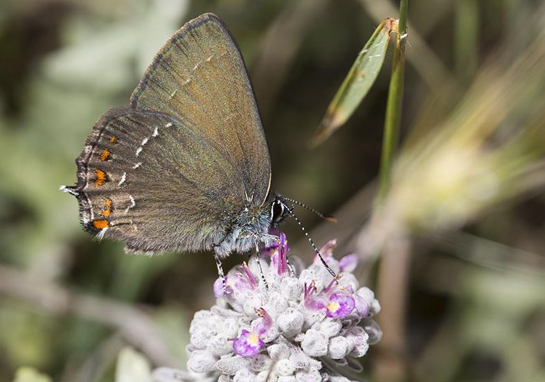 Satyrium ilicis - Brauner Eichenzipfelfalter - Zagori (Griechenland) - Lycaenidae  - Bläulinge  -  gossamer-winged butterflies