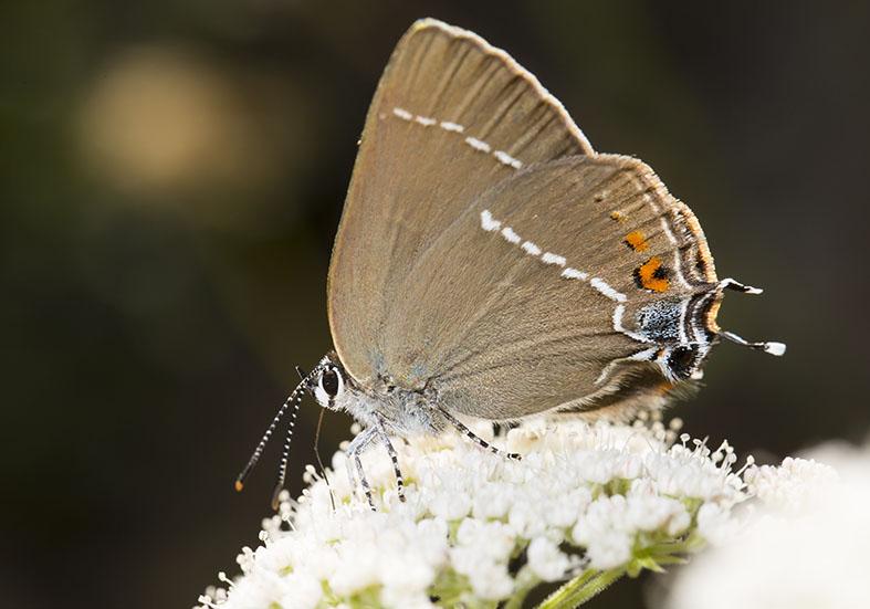 Satyrium spini  - Kreuzdorn-Zipfelfalter - Zagori (Griechenland) - Lycaenidae  - Bläulinge  -  gossamer-winged butterflies