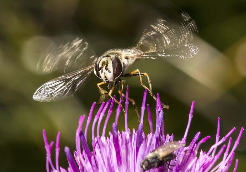 Scaeva selenitica - Frühe Großstirnschwebfliege -  - Brachycera (Fliegenartige) - Aschiza