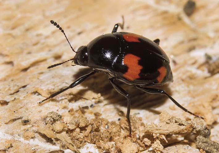 Scaphidium quadrimaculatum - Vierfleckiger Kahnkäfer -  - Staphylinidae - Kurzflügler - rove beetles
