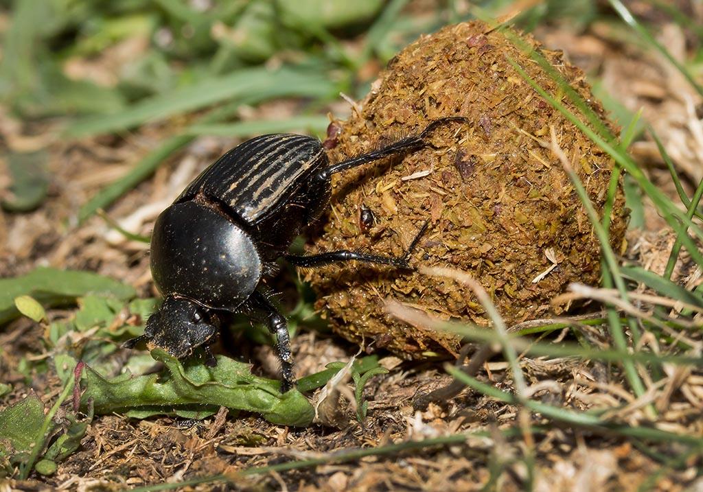 Scarabaeus laticollis - Pillendreher - Fam. Scarabaeidae  - Sardinien - Scarabaeidea - Blatthornkäfer - scarab beetles