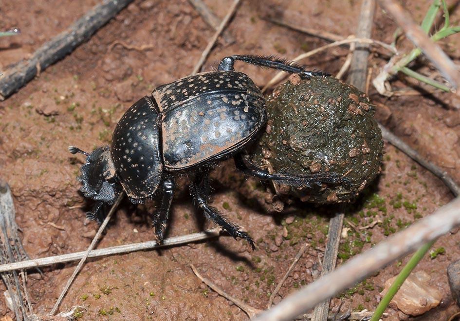 Scarabaeus variolus - Pillendreher - Fam. Scarabaeidae  -  Lefkas - Scarabaeidea - Blatthornkäfer - scarab beetles
