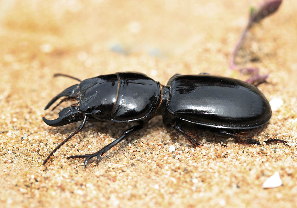 Scarites sp. - Korfu - Carabidae - Laufkäfer - ground beetles