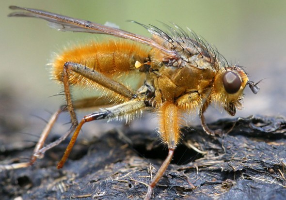 Scatophaga stercoraria - Gelbe Dungfliege - Fam. Scatophagidae - Dungfliegen - Brachycera (Fliegenartige) - Schizophora - muscoids