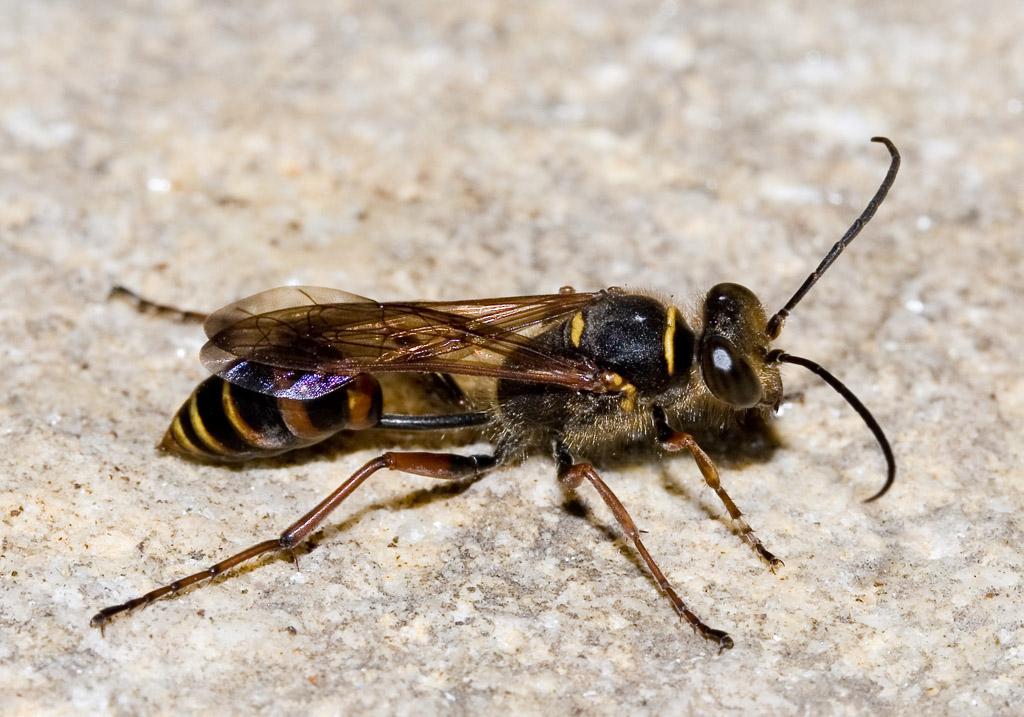 Sceliphron curvatum - Orientalische Mauerwespe -  - Spheciformes - Grabwespen - thread-waisted wasps