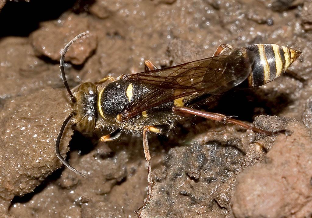 Sceliphron curvatum - Kroatien - Sphecidae - Grabwespen - thread-waisted wasps