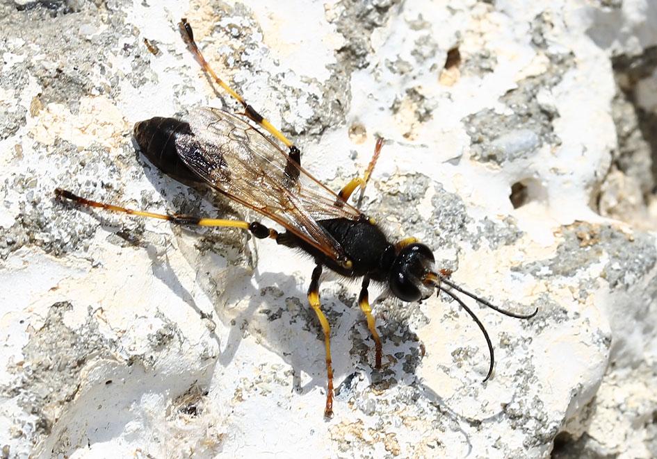 Sceliphron destillatorium - Amorgos - Sphecidae - Grabwespen - thread-waisted wasps