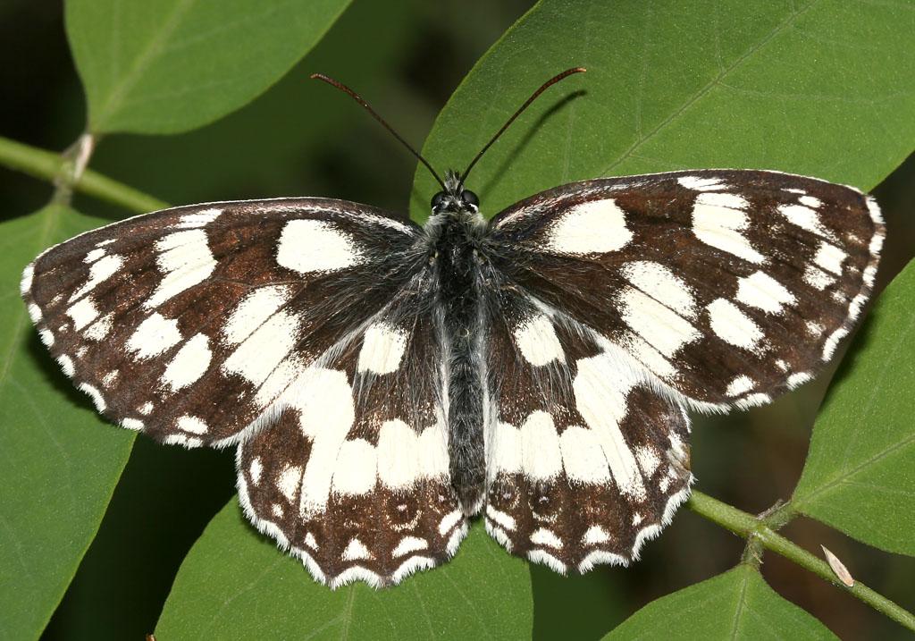 Melanargia galathea - Schachbrettfalter -  - Nymphalidae - Edelfalter - brush-footed butterflies