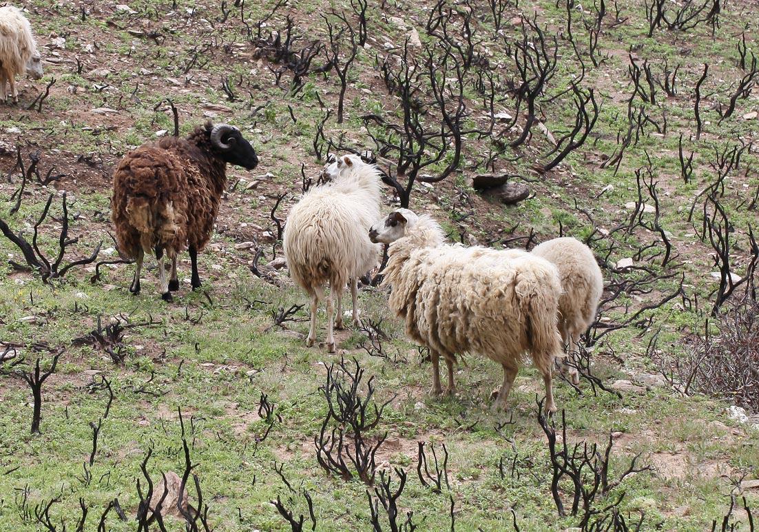 Schafe nach Brandrodung - Andros - Haustiere - domestic animals