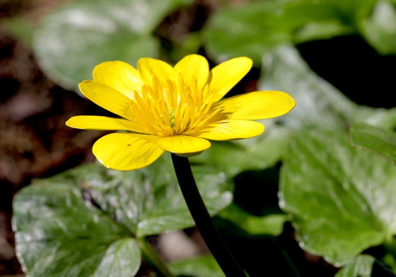 Ranunculus ficaria - Scharbockskraut - Fam. Ranunculaceae - Wald - forest